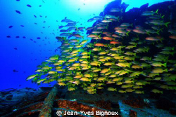 Top deck with Cardinal fish Mauritius shipwreck Canon EOS 7D by Jean-Yves Bignoux 